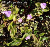 Tradescantia sp., Tradescantia, SpiderwortClick to see full-size image