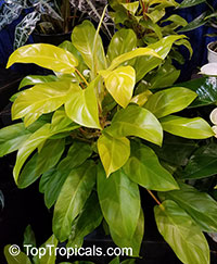 Philodendron Golden Goddess  Click to see full-size image