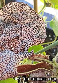 Aristolochia labiata, Aristolochia brasiliensis, Mottled Dutchman's Pipe, Roster Flower  Click to see full-size image
