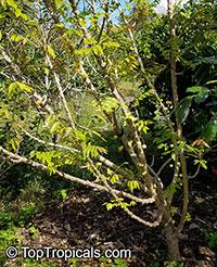 Phyllanthus acidus, Phyllanthus distichus, Otaheite Gooseberry, Amlak, Grosella, Gooseberry tree  Click to see full-size image