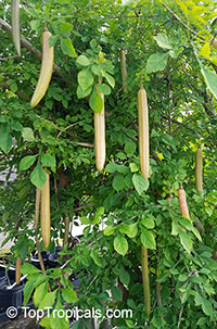 Parmentiera edulis, Parmentiera aculeata, Guajilote, Cuachilote, Guahalote, Candle Tree, Cucumber Tree  Click to see full-size image