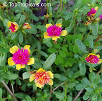 Portulaca oleracea , Common Purslane