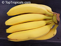 Musa - Banana Gros Michel (Big Mike)  Click to see full-size image