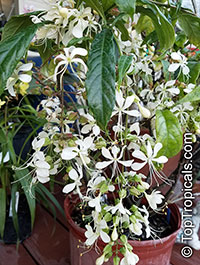 Clerodendrum wallichii, Clerodendrum nutans, Bridal veil, Nodding Clerodendron  Click to see full-size image