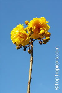 Cochlospermum vitifolium, Buttercup tree, Mountain Cotton, Cotton-tree