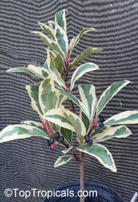 Ardisia polycephala (elliptica) variegated - Shoebutton ArdisiaClick to see full-size image