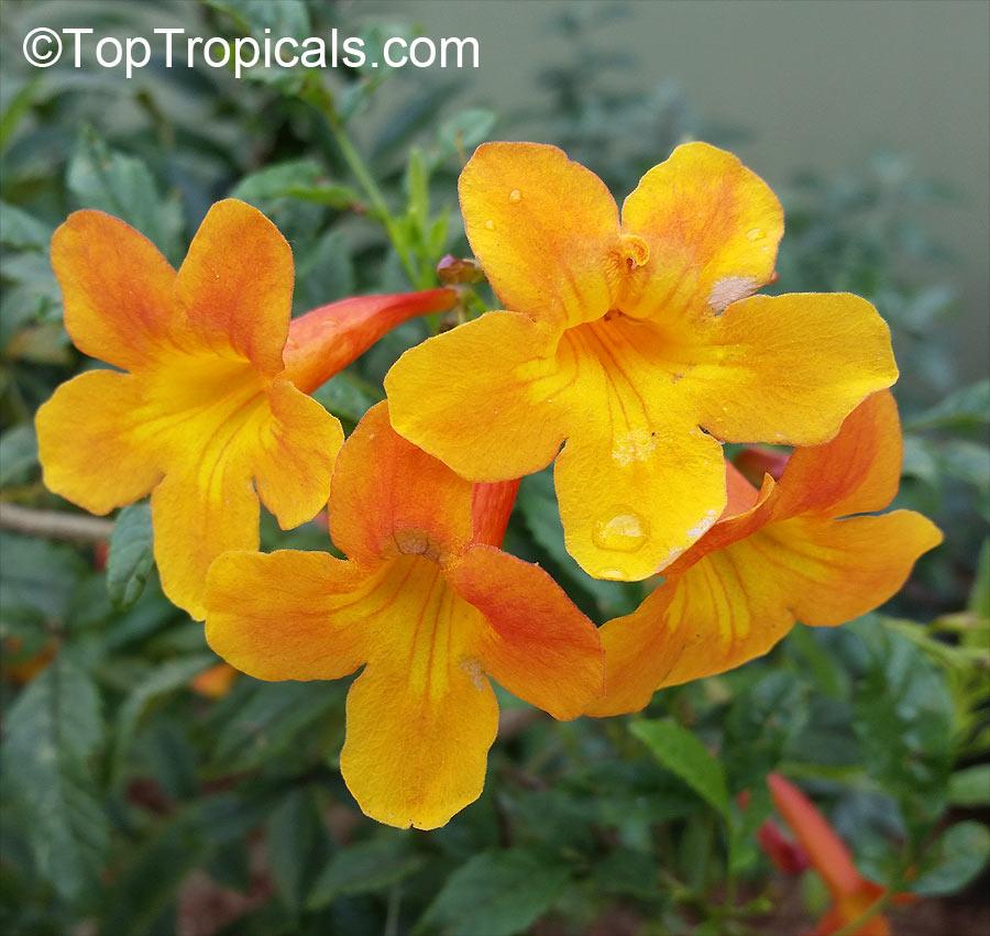 Tecoma smithii Orange Bells 10 seeds FREE SHIP