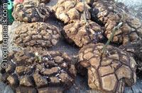 Dioscorea elephantipes, Dioscorea macrostachya, Dioscorea mexicana, Testudinaria elephantipes, Elephant foot, Turtle shell, Hottentot-Bread  Click to see full-size image