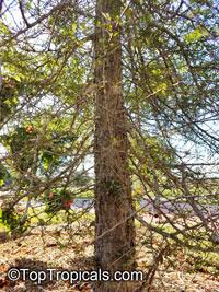 Operculicarya decaryi, Jabily, Elephant Tree  Click to see full-size image
