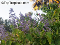 Cornutia grandifolia, Tropical Lilac, African Lilac, Jamaican Lilac  Click to see full-size image