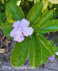 Brunfelsia isola, Hybrid Brunfelsia, Purple Lady of the Night  Click to see full-size image