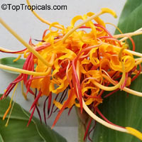 Hedychium longicornutum, Perched Gingerwort