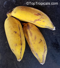 Musa - Banana Manzano (Apple Banana)