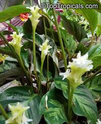 Calathea lietzei , Calathea  Click to see full-size image