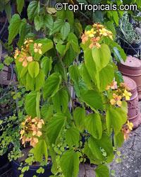 Bauhinia bidentata, Phanera bidentata, Orange Bauhinia, Orange Orchid Vine  Click to see full-size image