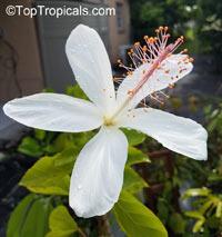 Hibiscus arnottianus, Hawaiian White Hibiscus, Hau hele, O'ahu White Hibiscus  Click to see full-size image