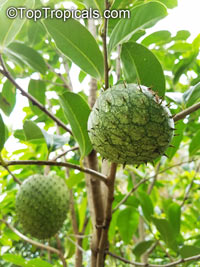 Annona montana, Mountain Soursop, Wild Custard Apple, Guanabana de monte, Wild Soursop  Click to see full-size image