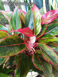 Aglaonema sp., Chinese Evergreen