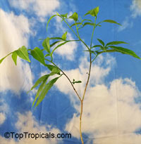 Adansonia grandidieri, Grandidier's Baobab, Giant Baobab  Click to see full-size image