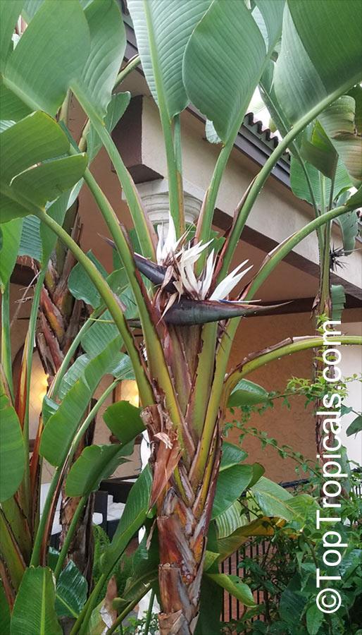 Strelitzia Nicolai Giant Bird Of Paradise White Bird Of Paradise