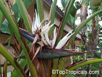 Strelitzia nicolai, Giant bird of paradise, white bird of paradise  Click to see full-size image
