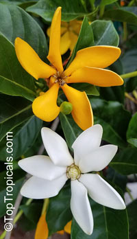 Gardenia tubifera Kula - Golden Gardenia  Click to see full-size image