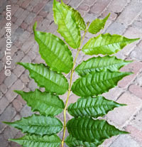 Psidium angulatum, Brazilian Guava, Araca Pera, Bayabas Click to see full-size image