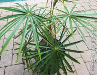 Coccothrinax crinita, Old Man Palm, Thatch Palm  Click to see full-size image