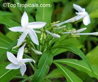 Alstonia venenata, Sinnappalai, Devil Tree  Click to see full-size image