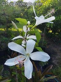 Hibiscus arnottianus, Hawaiian White Hibiscus, Hau hele, O'ahu White HibiscusClick to see full-size image