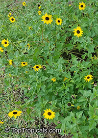 Helianthus debilis , Beach Sunflower, Dune Sunflower  Click to see full-size image