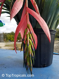 Billbergia nutans, Billbergia linearifolia, Billbergia minuta, Bromeliad Queen of Tears, Friendship Plant  Click to see full-size image