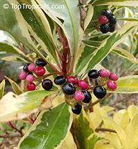 Ardisia elliptica variegata, Variegated ArdisiaClick to see full-size image