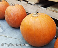 Cucurbita pepo, Pumpkin, Scallop, Zucchini, Ornamental gourds  Click to see full-size image