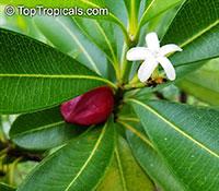Ochrosia elliptica, Bloodhorn, Mangrove Ochrosia  Click to see full-size image