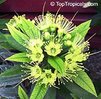 Xanthostemon chrysanthus, Golden Penda, Expo gold, Junjum  Click to see full-size image