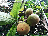 Pouteria sp., Ross Sapote  Click to see full-size image