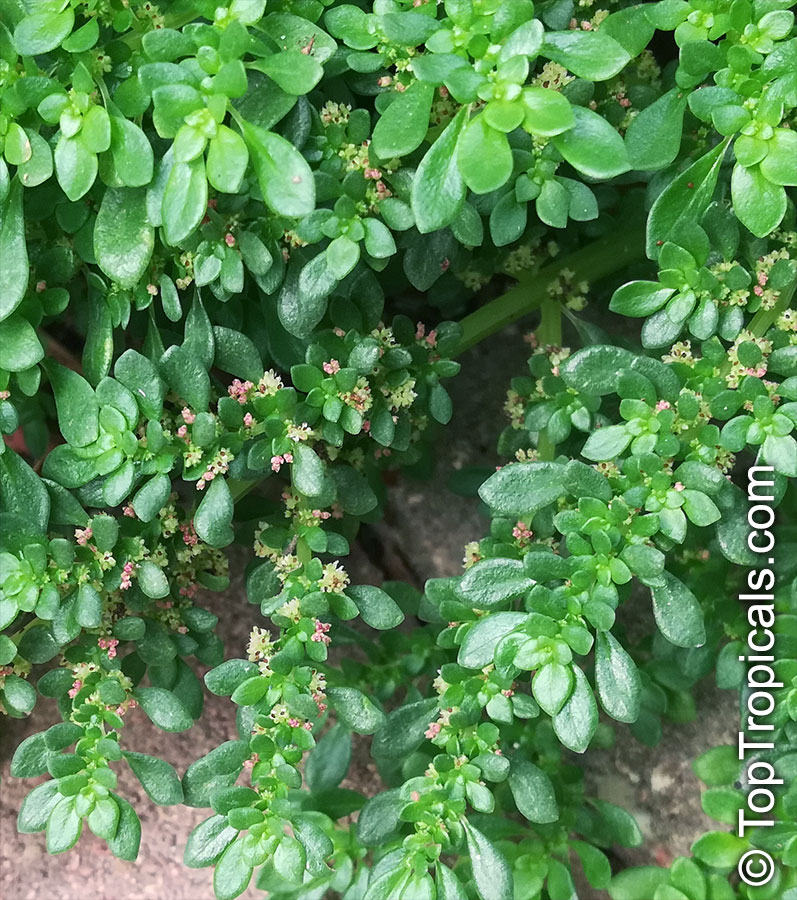 PILEA SERPYLLACEA  EASY CARE HOUSE PLANT!