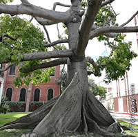 Ceiba pentandra, Kapok tree, Silk Cotton Tree  Click to see full-size image