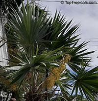 Thrinax sp., Thatch Palm  Click to see full-size image