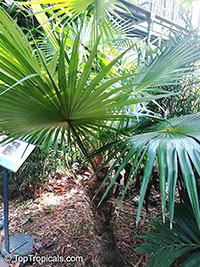 Coccothrinax readii, Coccothrinax argentata of Henderson, Mexican Silver Palm, Knacas, Nakax, Mexican Silver Thatch Palm  Click to see full-size image