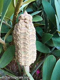 Zamia furfuracea, Cycad, Cardboard Palm  Click to see full-size image