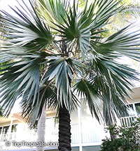 Latania sp., Latan Palm  Click to see full-size image