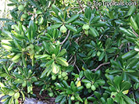 Genipa clusiifolia, Seven Year Apple  Click to see full-size image