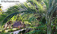 Unknown 143, Palm  Click to see full-size image