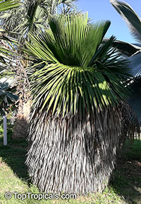 Coccothrinax borhidiana, Borhidi's Guano Palm  Click to see full-size image