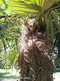 Coccothrinax sp., Old Man Palm  Click to see full-size image