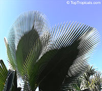 Copernicia fallaensis, Giant Yarey Palm  Click to see full-size image