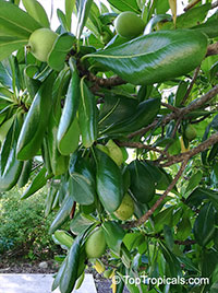 Casasia clusiifolia, Seven-year Apple  Click to see full-size image