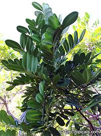 Simarouba glauca, Paradise-tree, Dysentery-bark, Bitterwood, Lakshmi Taru  Click to see full-size image
